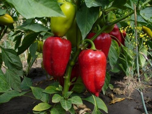 Почему не краснеет болгарский перец в теплице. Почему не краснеют перцы в теплице