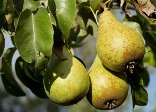 Когда снимать груши с дерева. Как определить съемную спелость груши? | Дача – впрок