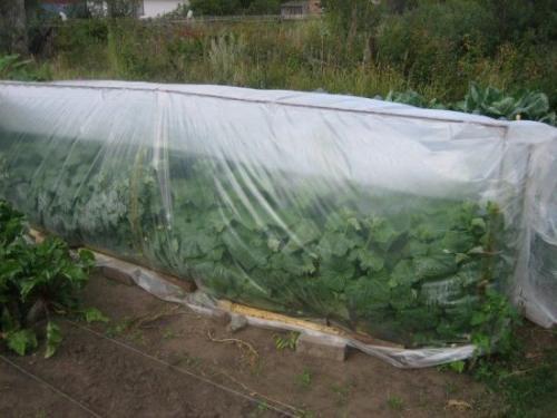 Как продлить урожай огурцов. Можно ли продлить плодоношение огурцов в теплице и открытом грунте