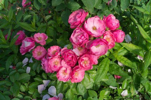 Розы привитые и корнесобственные в чем разница. Розы корнесобственные и привитые, в чем разница при хранении