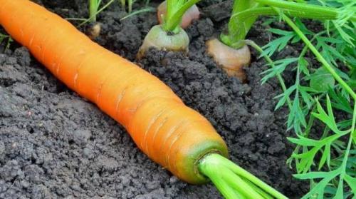 Почему зеленеет морковь. Утепление входной двери
