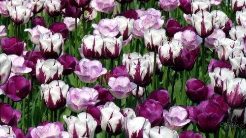 Как посадить тюльпаны в специальной корзинке. Как правильно использовать корзины для посадки луковичных? 05