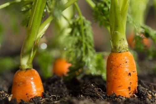 Почему морковь горькая на вкус