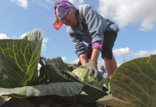 До скольки градусов мороза выдерживает капуста. Боится ли овощ заморозков?