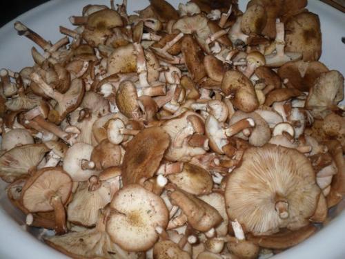 Как мариновать коровьи губы грибы. Как мариновать грибы на зиму в банках с уксусом и маслом: пошаговый фото рецепт
