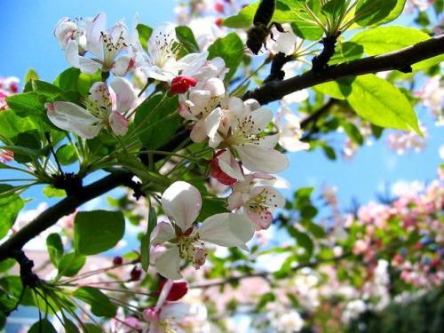 В, каком месяце плодоносит яблоня. Когда цветет яблоня в, каком месяце