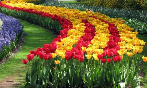 Как посадить тюльпаны в специальной корзинке. Как правильно использовать корзины для посадки луковичных? 07
