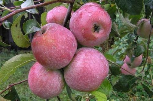 Когда начинает плодоносить яблоня. Начало плодоношения яблони