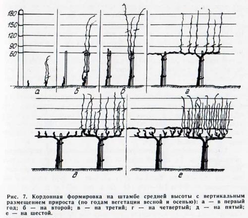 Расстояние между кустами винограда на арке. Вертикальный кордон