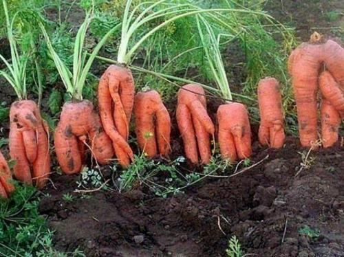Почему морковь вырастает уродливая. Основные причины, почему растет корявая морковь
