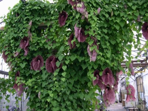 Лианы для вертикального озеленения теневыносливые. Тенелюбивые и морозостойкие лианы для сада