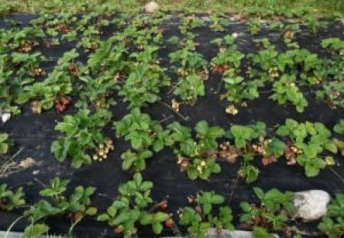 Какие заморозки выдерживает клубника весной. Какие заморозки выдерживают посевы в огороде