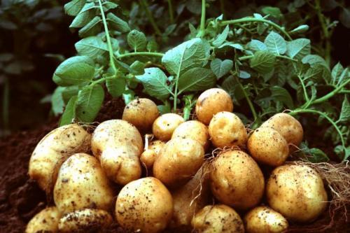 Что делать с картофельной ботвой. Что делать с ботвой картофеля