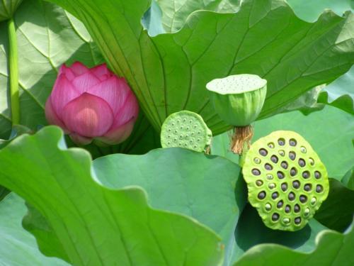 Цветок лотос где растет. Что представляет собой райский цветок 19