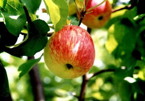 Сорта яблонь для Ленинградской области с фото и описанием видео