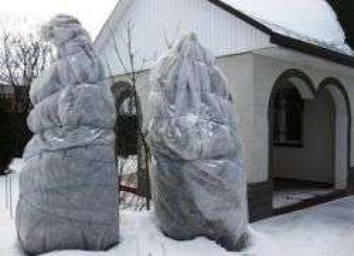 Как укрыть саженцы туи на зиму. Как укрыть тую на зиму?