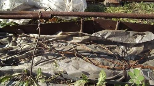 Когда закрывать виноград на зиму в Сибири. Как правильно укрывать виноград на зиму в Сибири 02