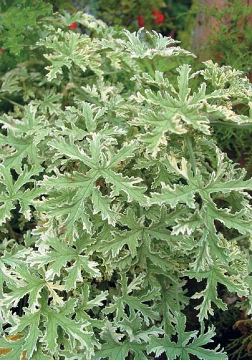 Какую самую низкую температуру выдерживает пеларгония. Пеларгонии, растущие все лето в саду, на террасе или на балконе, после переезда в помещение продолжают расти, но со временем вытягиваются, а их листья желтеют и опадают. Из-за резкой смены условий содержания они теряют свою привлекательность, очень часто болеют и даже погибают. Что же нужно для того, чтобы они успешно перезимовали в условиях городской квартиры, а весной снова радовали нас своим ярким и обильным цветением?
