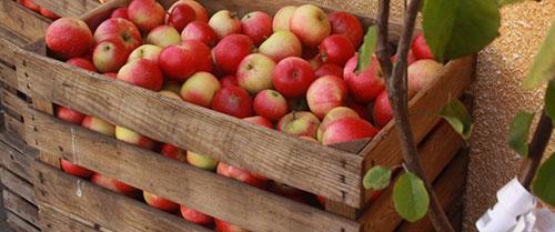 Температура хранения зимних яблок