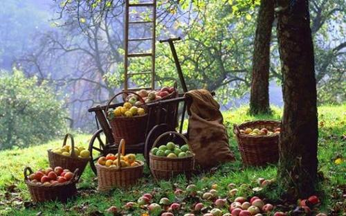 При какой температуре замерзают яблоки на дереве. При какой температуре замерзают яблоки на яблоне. Как хранить яблоки всю зиму в погребе, в земле, в квартире, в холодильнике. Простая укладка в ящики