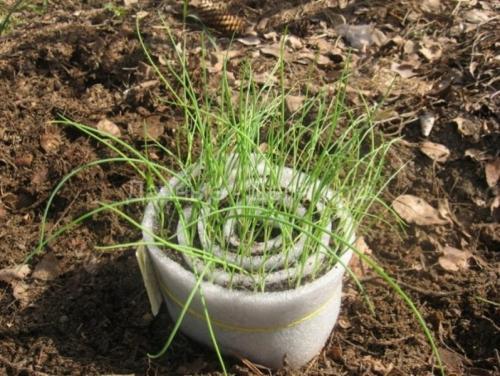 Лук рассадой. Как вырастить рассаду лука из семян 20
