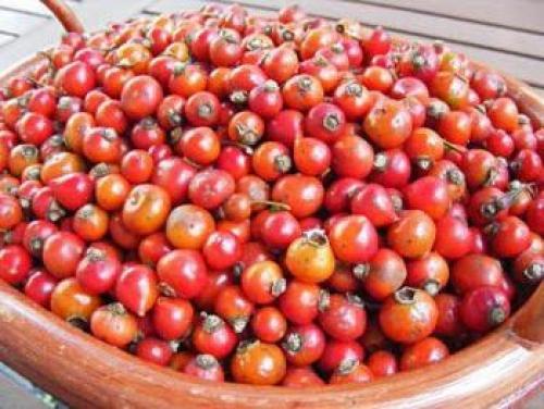 Как собирать плоды шиповника