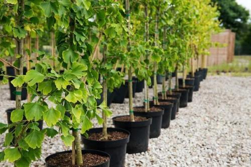 Как правильно прикопать саженцы до весны. Как сохранить саженцы зимостойких плодовых и ягодных культур до весны