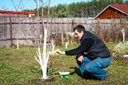Почему нельзя белить деревья. Зачем белить стволы деревьев?