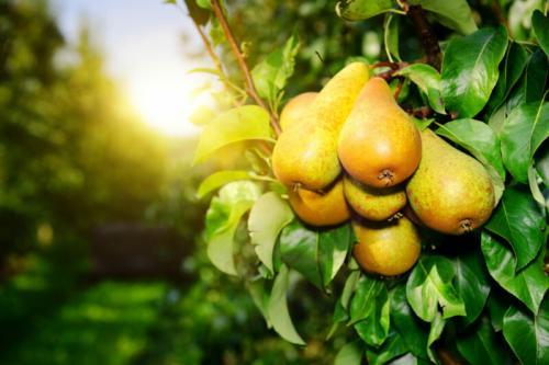 Как долго сохранить Яблоки свежими. Размещение фруктов в погребе или подвале