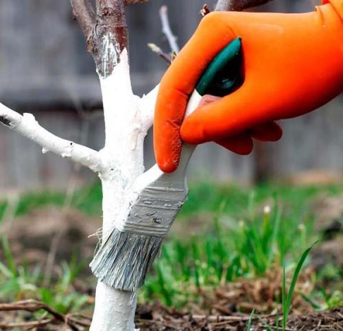 Чем белить деревья на зиму. Как белить деревья: подготовительные работы и техника нанесения побелки