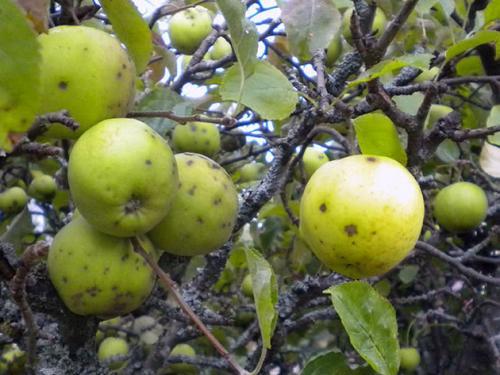 Чем обработать яблони и груши от парши. Парша яблони