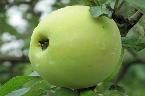 На какой год после посадки плодоносит яблоня. Через сколько плодоносит яблоня