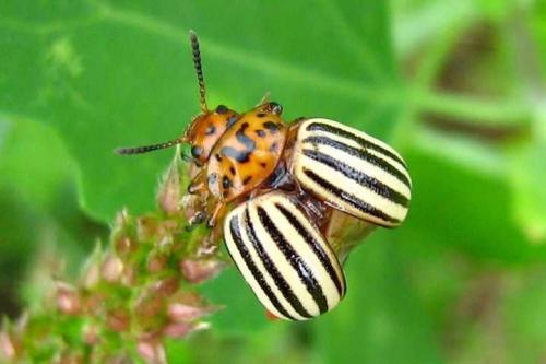 Колорадский жук когда появился в ссср. Происхождение и описание
