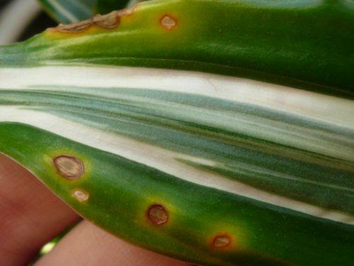 Почему на лилиях появляются ржавые пятна