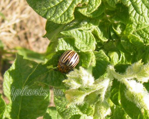 Яйца колорадского жука. Описание колорадского жука