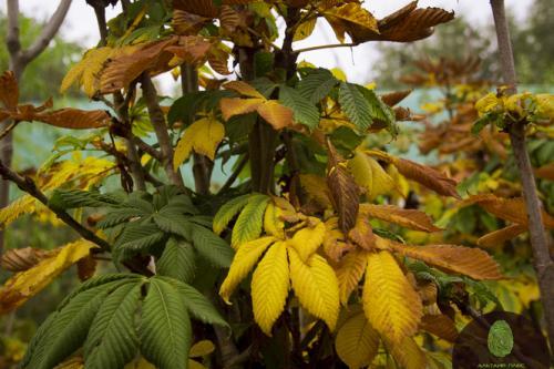 Цветущее дерево каштан: плоды и лечебные свойства. Как посадить