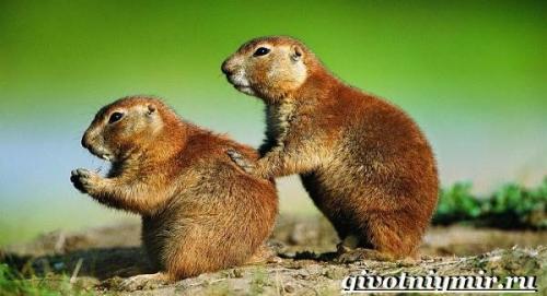 Земляная собачка грызун. Особенности и среда обитания