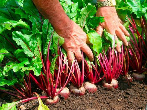 Как вырастить сладкую свеклу на даче. Выращивание свеклы: секреты опытных огородников