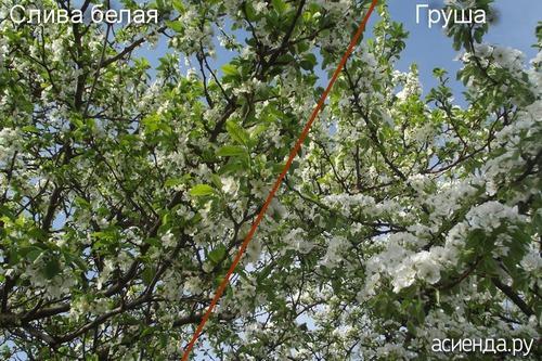 Чем заделать трещину в яблоне. На яблоне появилась вертикальная трещина ствола.