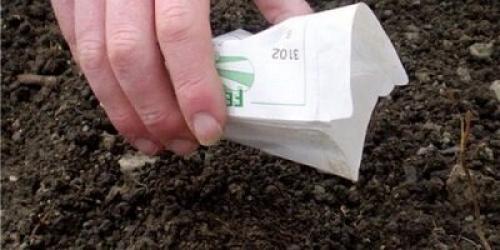 Репа выращивание и уход в открытом грунте. Выращивание репы в открытом грунте