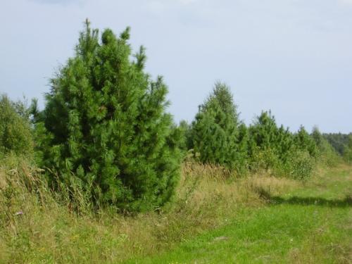 Через сколько лет кедр начинает плодоносить. Кедры (Cedrus) - крупные хвойные деревья, родственники лиственниц.