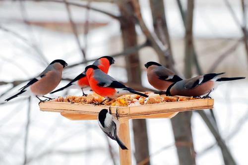 Чем кормить синиц зимой советы и предостережения