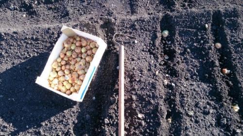 Нужно ли замачивать лук перед посадкой в марганцовке под зиму. Обработка лука перед посадкой под зиму