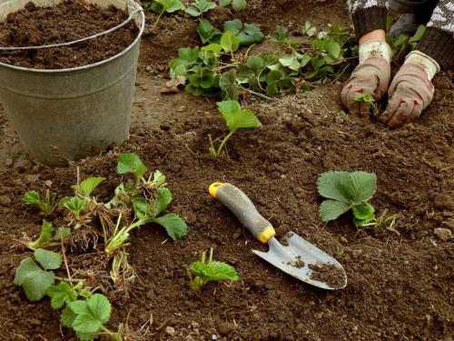 Минеральные удобрения для клубники. Когда нужно подкармливать клубнику?