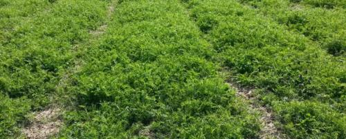 Что лучше сеять рожь или пшеницу. Сидераты для конкретных растений