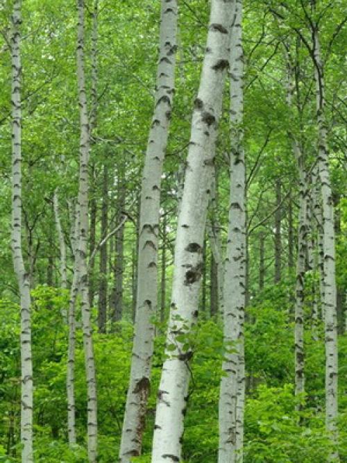 Какие деревья осенью краснеют? 25