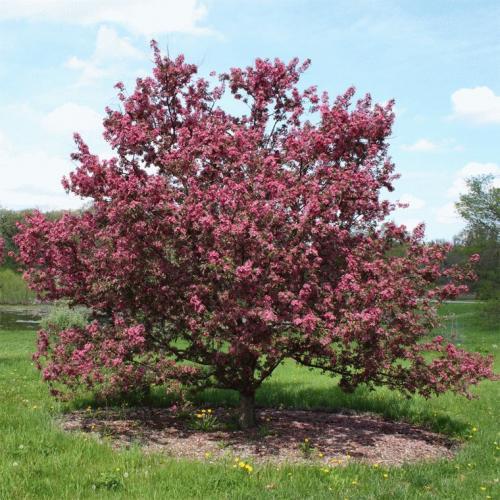 Какие деревья осенью краснеют? 19