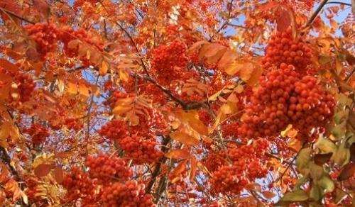 Какие деревья осенью краснеют?
