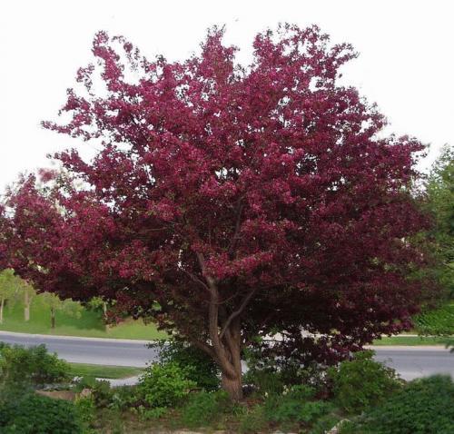 Какие деревья осенью краснеют? 20