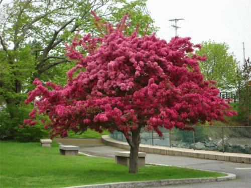 Какие деревья осенью краснеют? 21